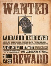 Detail Picture for Black Lab - Wanted Poster